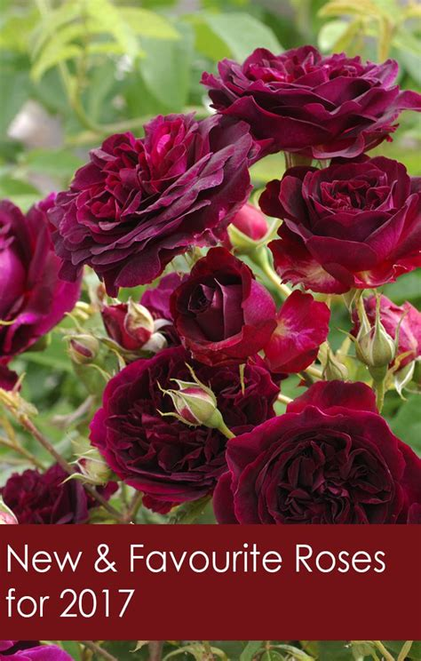 favorite roses   florissa flowers roses