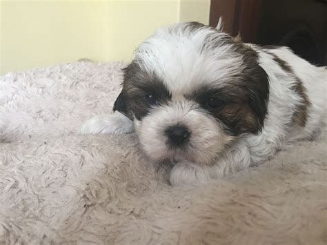 kc registered shih tzu puppies for sale kc registered shih tzu puppies craigavon county armagh pets4homes