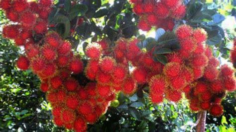 Bibit Pohon Rambutan pohon buah rambutan www pixshark images galleries