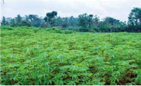 Bibit Ubi Racun usaha budidaya tanaman singkong usaha budidaya tanaman