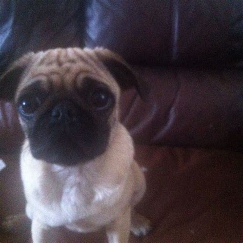 pugs for sale warrington beautiful 7 month fawn pug for sale warrington cheshire pets4homes
