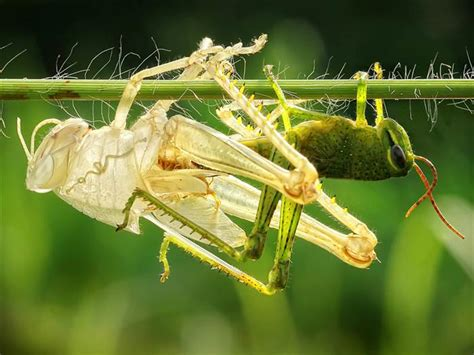 Insects That Shed Skin by Grasshopper Sheds Skin In A Replica Today