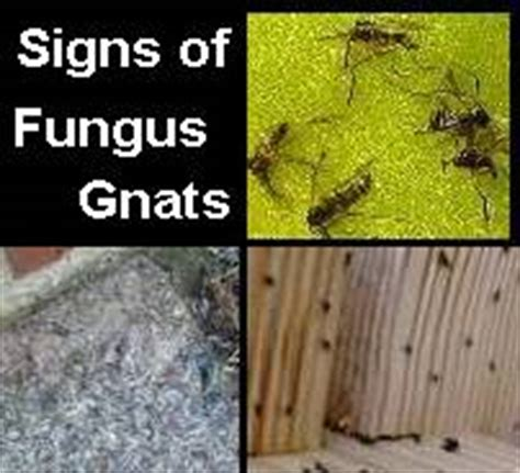 gnat infestation in plants ants with wings