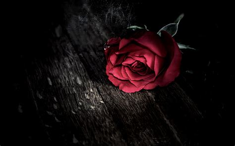 rose theme background red roses hd wallpapers free download