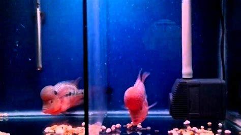 membuat aquarium filter belakang ikan lohan membuat akuarium lebih hidup youtube