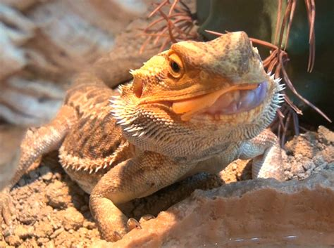 bearded dragons information winter hibernation of my