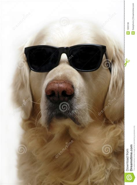 golden retriever with sunglasses in glasses royalty free stock photos image 1993138