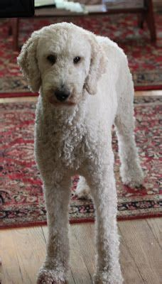 poodle grooming styles poodles smart active and proud haircuts poodle and