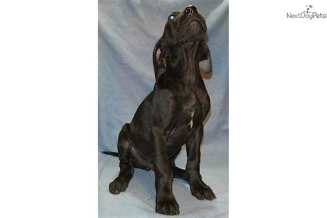 brown great dane puppies brown great dane puppy for sale near houston 38475a55 b3a1