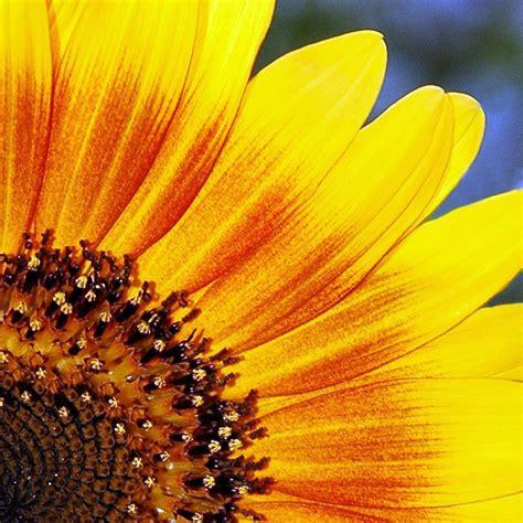 girasoli fiori girasole foto immagini macro e up macro fiori e