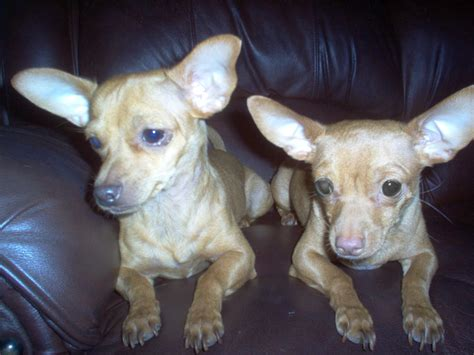 how much are dogs any chiweenie owners how much breeder surgery doxie dogs page 3 city
