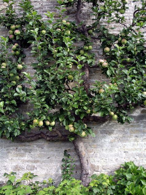 b q fruit trees espalier fruit trees images