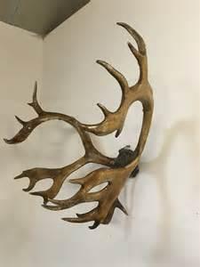 antiques atlas large reindeer antlers