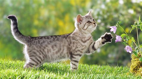 high resolution wallpaper of cat british shorthair cat hd cat wallpapers kittens