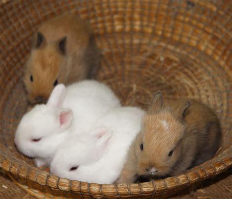 cosa mettere nella gabbia coniglio allevamento coniglio nano riflessioni prima dell