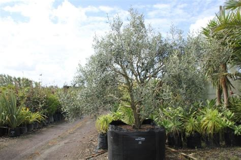 fruit trees for sale nz edibles
