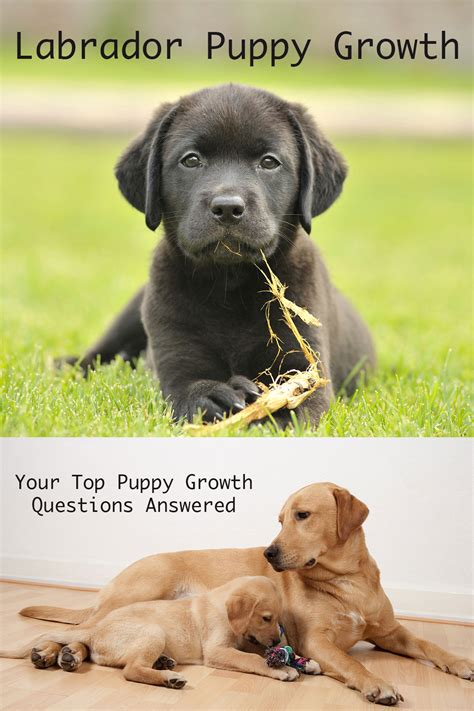 average age of dogs when do dogs stop growing labrador puppy growth chart and faq