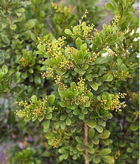 tanaman pacar cina chinese perfume bibitbungacom