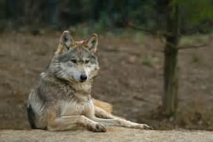 imagenes de animales con w conoce ocho especies animales de m 233 xico y el mundo en