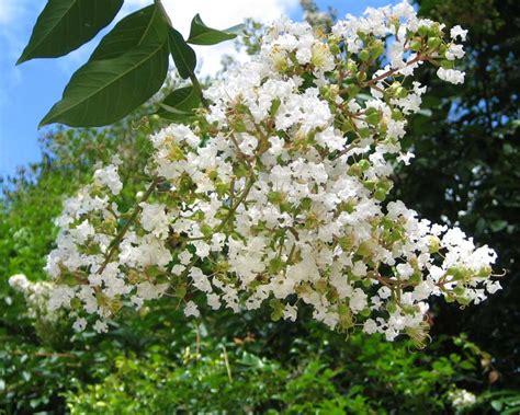 shrub with like flowers gardensonline lagerstroemia indica hybrids