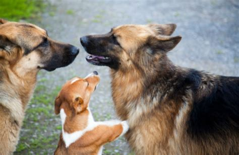 puppies now aggression towards other dogs put a stop to dominant behavior aggression now