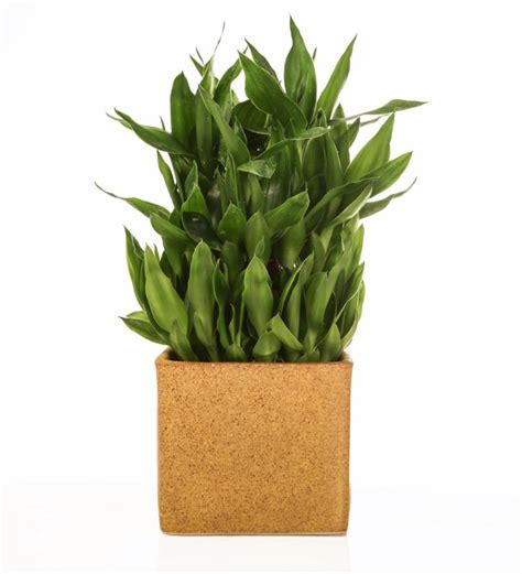 Lucky Bamboo Vases Pots by Nurturing Green Lucky Bamboo 3 Layer Marble Finish Ceramic