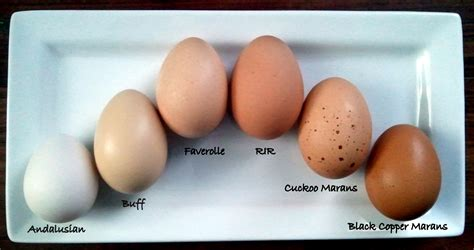 egg colors which breeds of chickens lay colored eggs fresh eggs daily 174