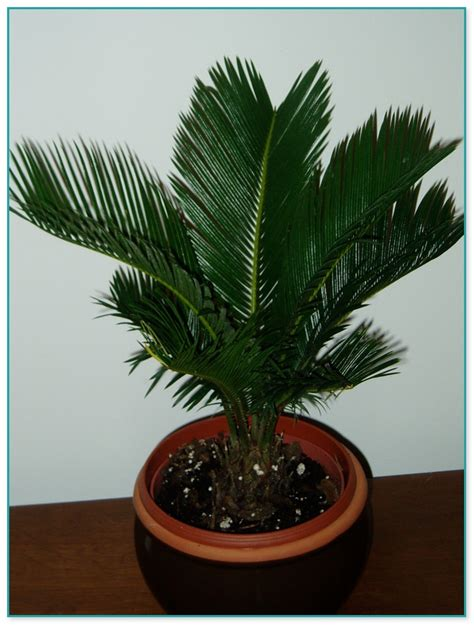 large house plants for sale large indoor house plants for sale