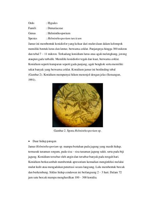 Benih Jagung Dk 95 patogen pada jamur bulai jagung