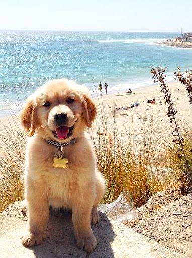 golden retriever for summer 14 things that make golden retrievers happy