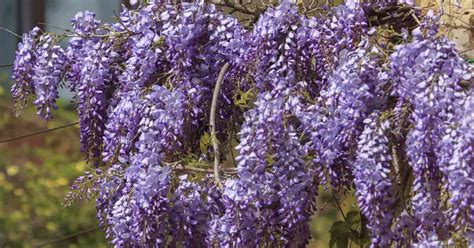 wisteria vines tips on growing and caring for wisteria