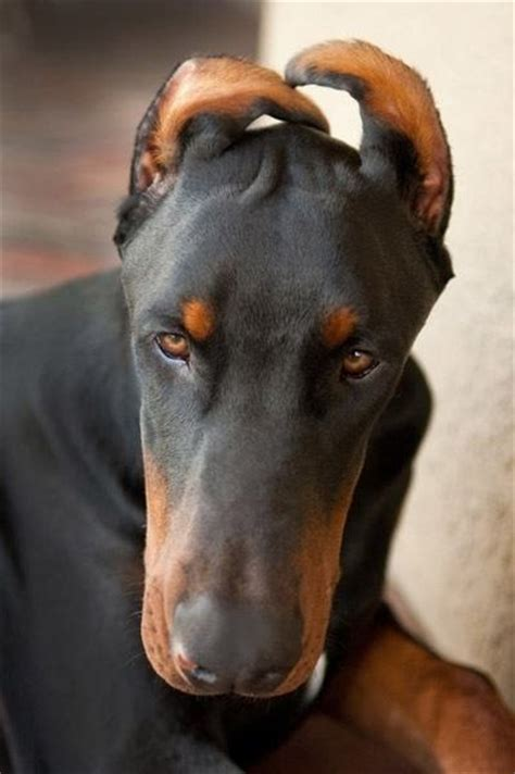 doberman puppy cropped ears at what age should you crop a doberman s ears quora