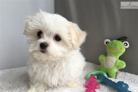 maltese puppies for sale in alabama maltese puppy for sale near birmingham alabama dcc3b997 0181