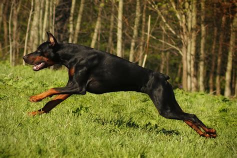are rottweilers running partners the 15 best breeds for runners hiconsumption