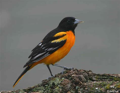 baltimore oriole south dakota birds and birding