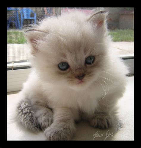 Cat Breeds That Dont Shed by Ragdoll Kitten These Nuggets Are Hypoallergenic And Don T Shed As Much As Other Cat Breeds