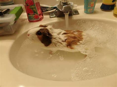 pig in a bathtub 14 squeaky clean guinea pigs soaking up a good bath