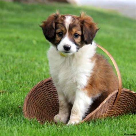 collie mix puppies miniature collie mix puppies for sale greenfield puppies