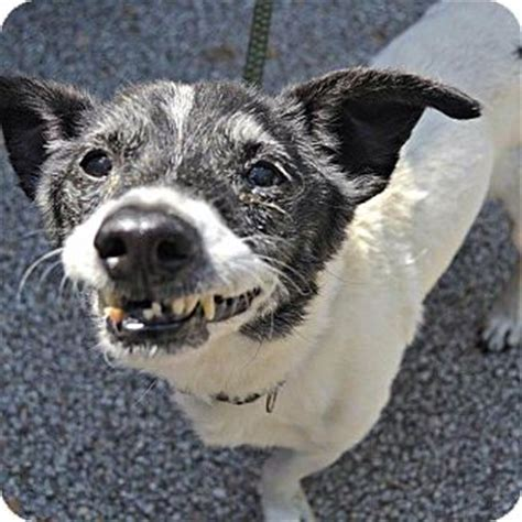 adoption cleveland ohio cleveland oh terrier unknown type small mix meet glen cbell a for adoption