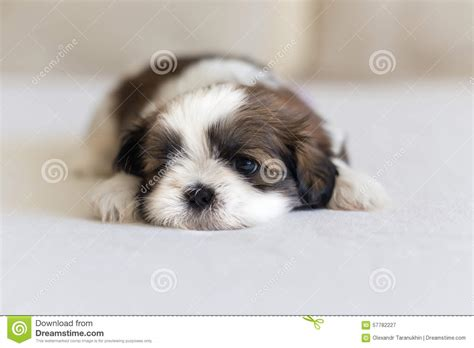 shih tzu nose eye and nose of shih tzu puppy stock photo image 57782227