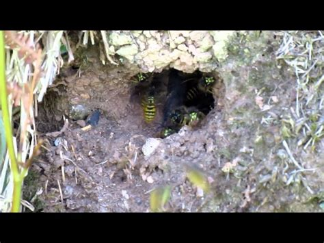 Garden Hose Vs Wasp Nest Garden Hose Vs Wasp Nest 28 Images Inspect For Wasp