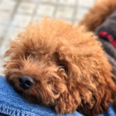 poodle with plain hair cut 1000 ideas about red poodles on pinterest poodles toy