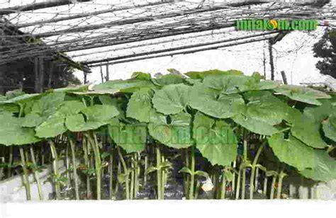 Benih Pare 9 tahap mudah cara semai benih biji pare agar cepat tumbuh