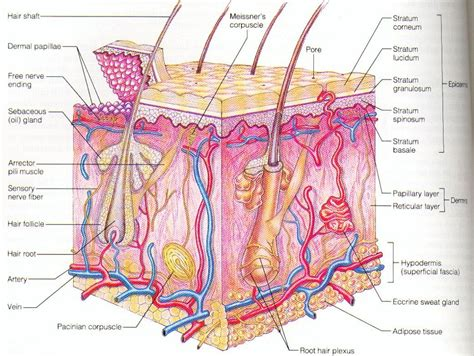 diagram of the skin diagram layer skin structure anatomy list