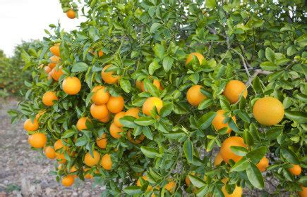 Bibit Jeruk Purut Yang Bagus pedoman cara memupuk tanaman jeruk yang baik
