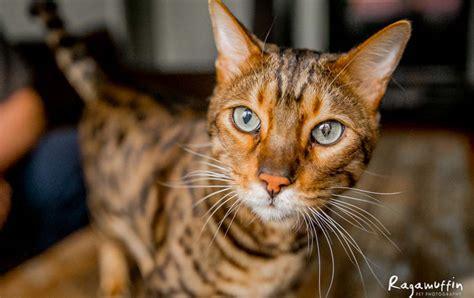 where can i adopt a near me where can i adopt a cat near me pets world