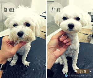 maltese haircut styles pictures maltese haircut styles pictures haircuts for maltese