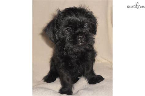 shiffon puppies for sale meet ziggy a brussels griffon puppy for sale for 375 shiffon