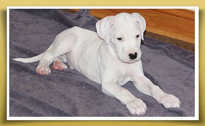 dogo argentino puppies for sale 2016 beautuful dogo argentino puppies for sale 650 241 9227 los angeles for sale los
