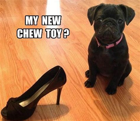 best chew toys for pugs 67 best images about memes on haha puns and cavities